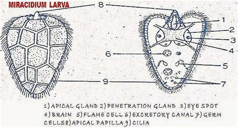 life history  fasciola hepatica sheep liver fluke