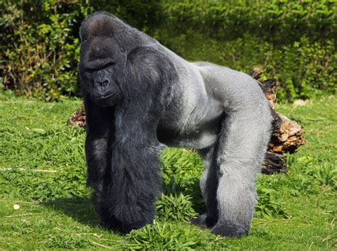 Mountain gorilla - Wikipedia