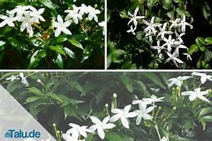 Jasmin Pflanze Pflege : jasmin pflanze grundlagen der pflege ~ Markanthonyermac.com Haus und Dekorationen