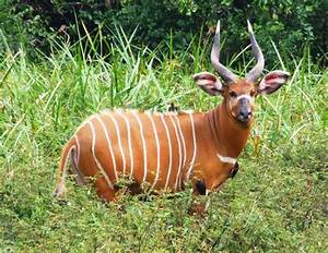 10 reasons to be bonkers about bongos - Africa Geographic