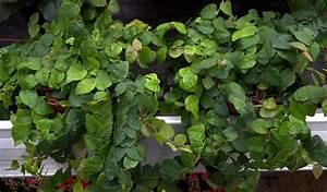 Schnell Rankende Pflanzen : pflanzen f r s terrarium ~ Frokenaadalensverden.com Haus und Dekorationen