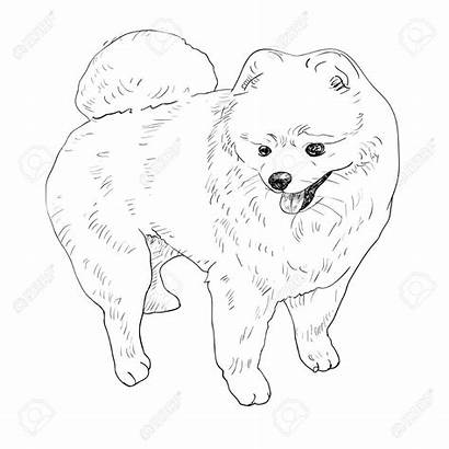 Pomeranian Coloring Pages Drawing Dog Puppy Colouring