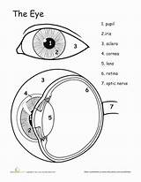 Eye Anatomy Worksheet Worksheets Human Science Awesome Grade Education Coloring Lesson Eyes Parts 5th Study Biology Pages Well Diagram Sheet sketch template
