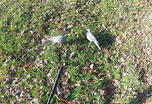 Faire Fuir Les Pigeons : comment chasser les pigeons good groupe chasse appelant ~ Melissatoandfro.com Idées de Décoration