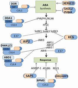 Ubiquitin Ligases That Regulate Aba Signaling  Illustration Of E3