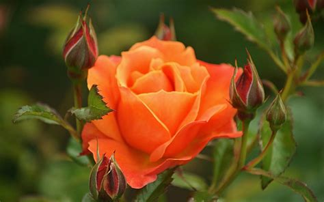 Orange Rose Wallpapers Hd Pictures  Flowers Wallpapers