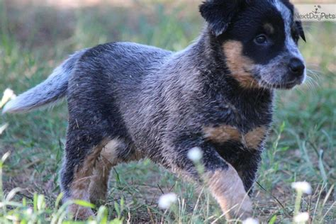 Blue Heeler Shedding In Winter by Grooming A Heeler Breeds Picture