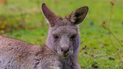Kangaroo Fur Wallpapers Lies Australia 4k Background