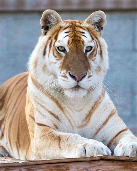 Golden Tiger Animals Wild Photos Big