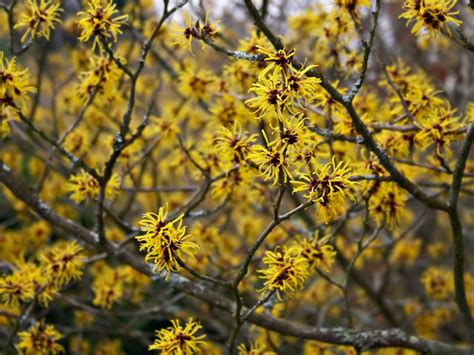 picture of witch hazel plant hamamelis arnold s promise witchhazel