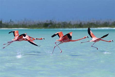 can flamingos fly celestun flamingos