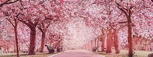 Hanami : Les plus belles photos de cerisiers en fleurs du