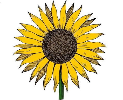 library  vector graphics sunflower png library png files