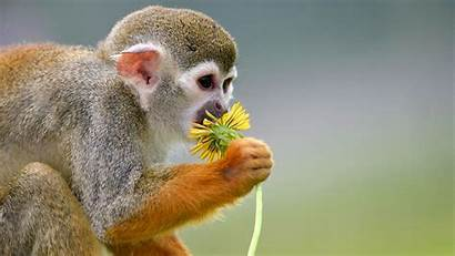 Monkey Smell Squirrel Flower Monkeys Animals Wallpapers