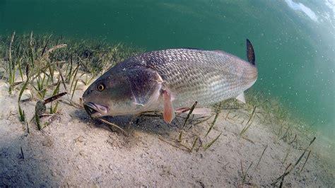 redfish lures fishing fish cure catching bait inshore tilapia catch timid carolina watercrafts roundabout fisherman