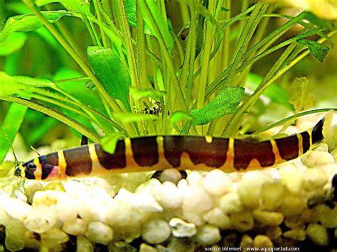 serpent d eau douce aquarium pangio kuhlii kuhli