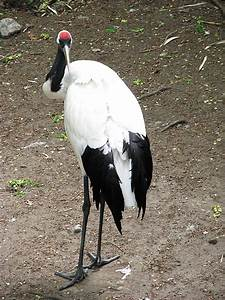 Stock 10: Red Crowned Crane by HOTNStock on DeviantArt
