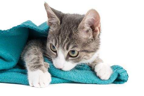 why do cats knead blankets