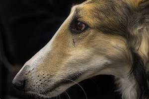 Borzoi Dog Breed Information and Pictures
