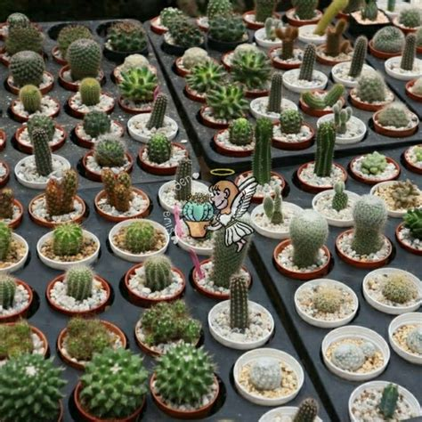 (ชุดที่2) แคคตัส Cactus กระบองเพชร ต้นไม้จิ๋ว ราคาถูก (1/8 ...