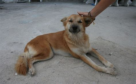 heartbreaking portraits  thailands street dogs wos