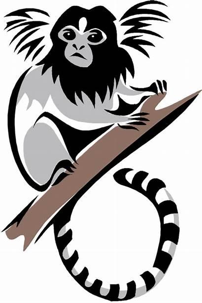 Clipart Monkey Marmoset Monkeys Vector Pygmy Colobus