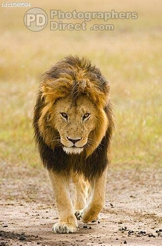 pd stock photo male black maned lion walking