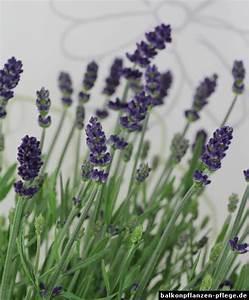 Lavendel Im Topf überwintern : pflanzen in nanopics echte lavendel lavandula angustifolia ~ Frokenaadalensverden.com Haus und Dekorationen