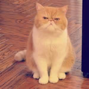 flat cat chester smooshyface shorthair cats