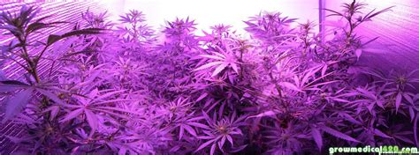 flowering cannabis with led lights led grow light review may 2013 pro grow 550 journal with