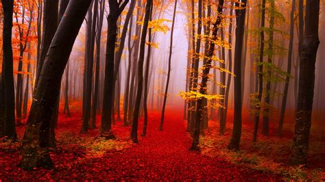 autumn forest path trees fog fall yellow  red leaves