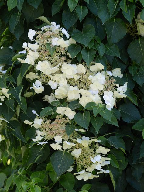 Hydrangea Anomala  Japanese Climbing Hydrangea  World Of