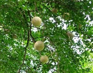 Wood apple, Elephant apple, Kavath, Kait | Gardentia