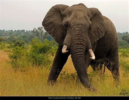 Bull Sightings Elephant Update April March Tintswalo
