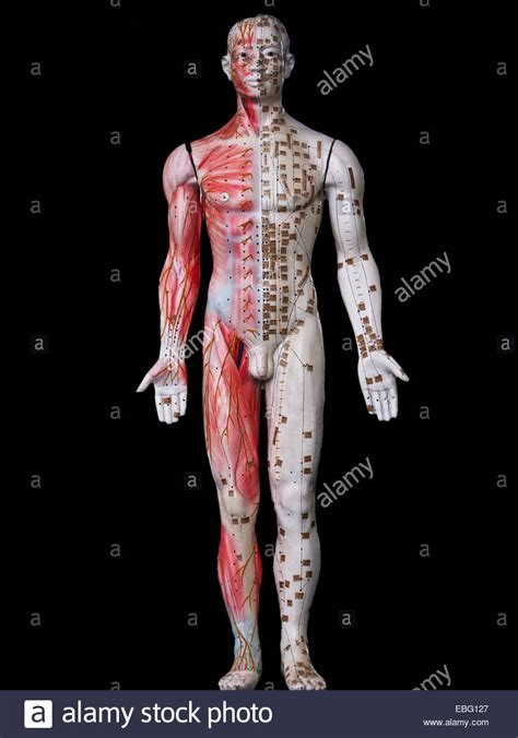 Muscular System Images Muscular System Stock Photos Muscular System Stock