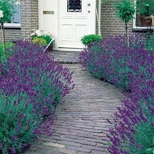Plant De Lavande : lavandula angustifolia english lavender pack of 5 plants ~ Nature-et-papiers.com Idées de Décoration