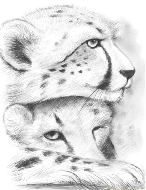 cheetahs gregchapin coloring page  cheetah coloring