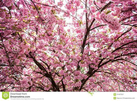japanese trees with pink flowers prunus serrulata tree royalty free stock photography image 31437557