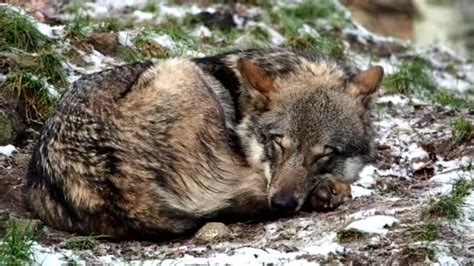 Grey Wolf Sleeping