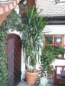Yucca Palme Garten : yucca palme 2 st mmig ca 3 2m in n rnberg sonstiges f r ~ Lizthompson.info Haus und Dekorationen