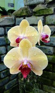 Orchids - x Doritaenopsis Sin-Yaun Golden Beauty ' Orchis ...