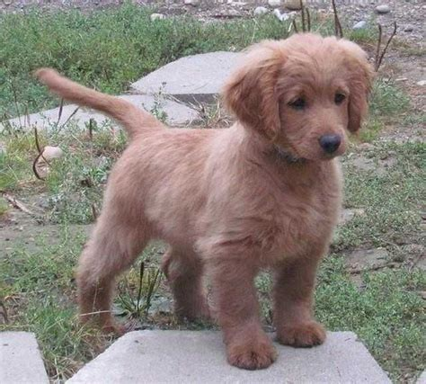 what types of dogs dont shed breeds that don t shed puppies