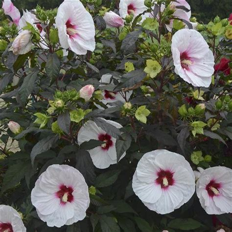 cottage farms hibiscus cottage farms hardy hibiscus care small house interior design