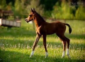 Arabian Foal