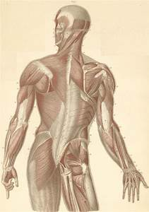 Muscles Of The Neck  Back  And Dorsal Surface Of The Arm