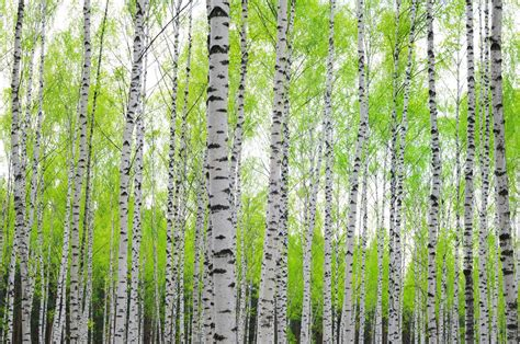 Birch Tree Forest Wallpaper By Loveabodecom