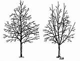 Tree Drawing Pine Urban Cutting Foundation Branches Trees Pruning Diagram Drawings Leader Getdrawings Figure Strong Proper Planting Crown Central Clearance sketch template