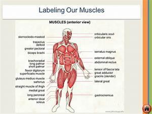 Skeletal  U0026 Muscular Systems