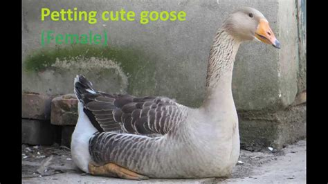 Petting Very Cute Goose Duck Youtube