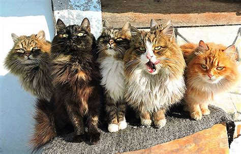 Siberian Farm Cats Have Absolutely Taken Over This Farmer